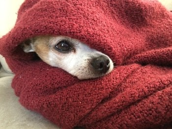 showing dog under a noise reducing blanket